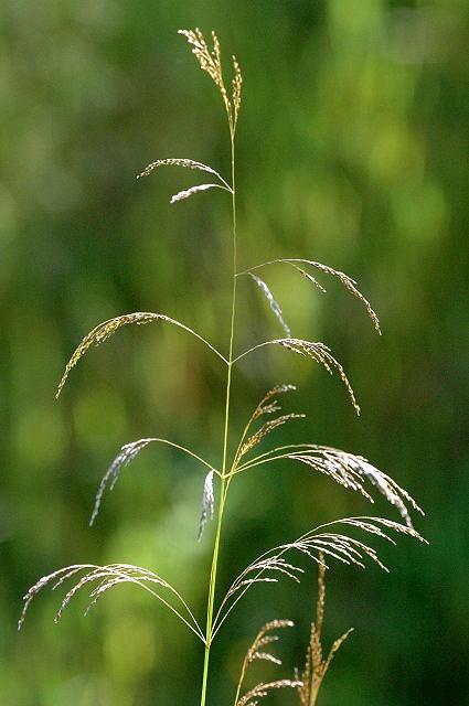 Deschampsia-cespitosa-infiorescenza