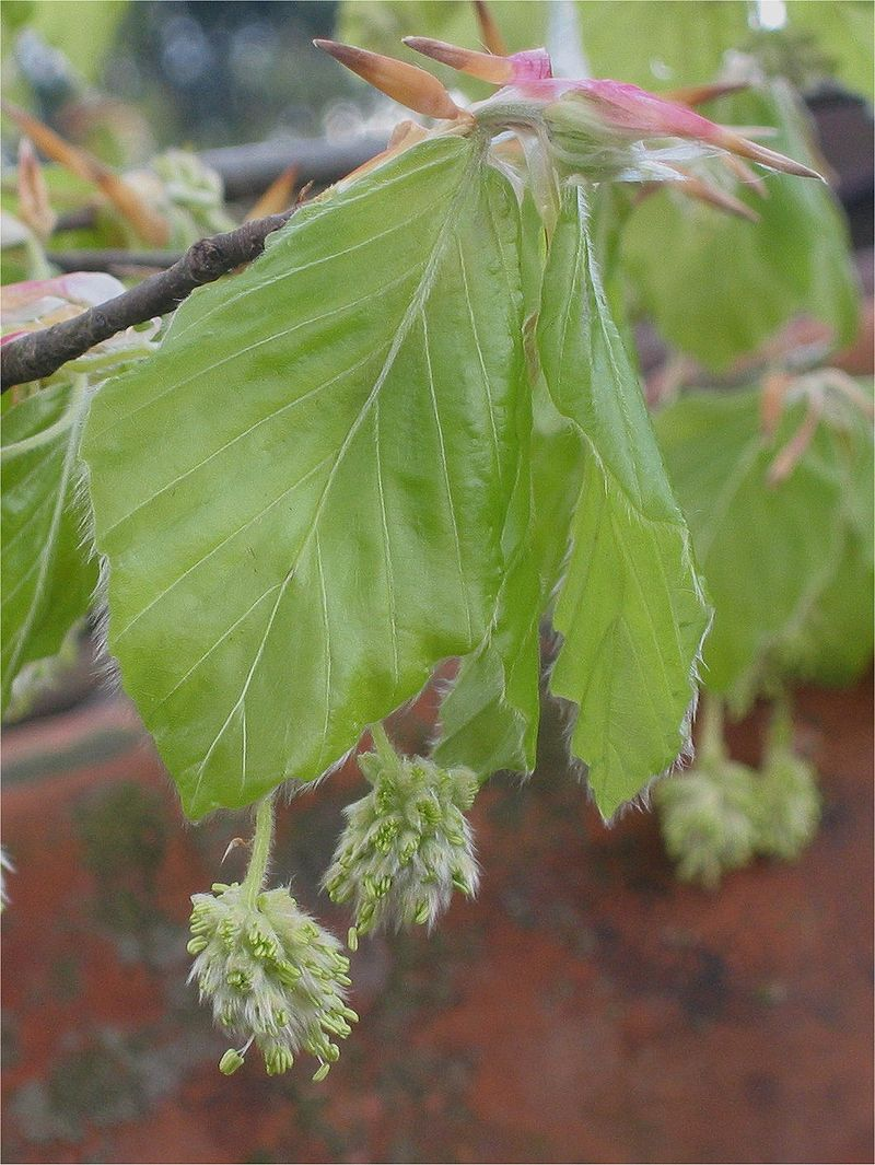 Faggio- Fagus sylvatica-fiori