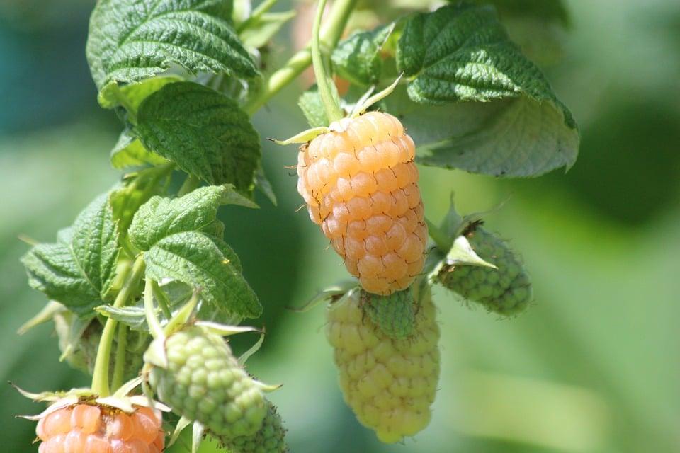Lampone giallo-Rubus idaeus