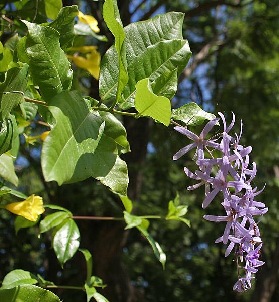 Petrea-volubilis-foglie-fiori