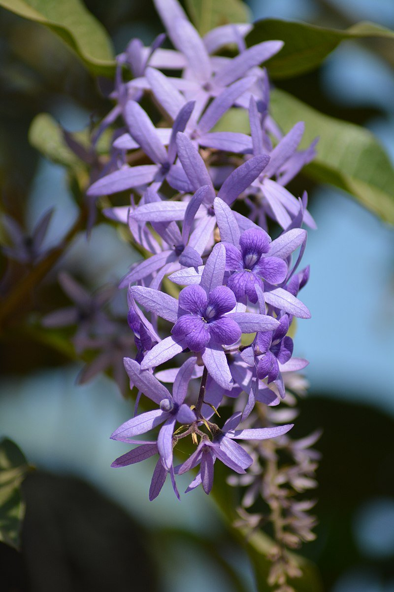 Petrea.volubilis-pianta rampicante