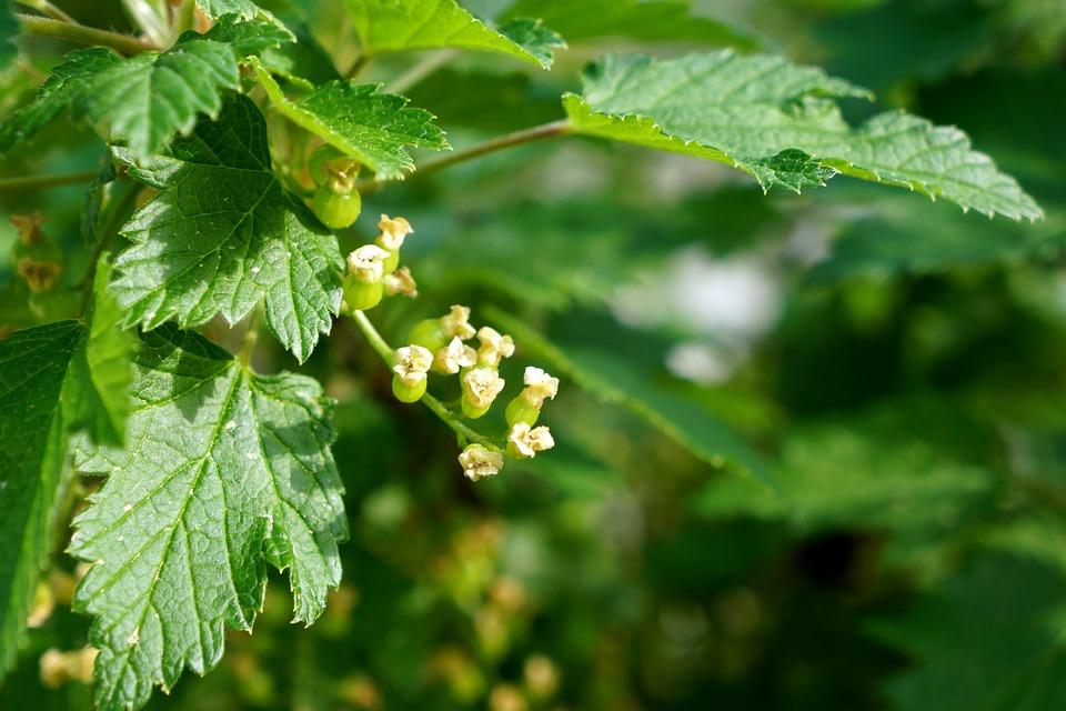 Ribes-fiori