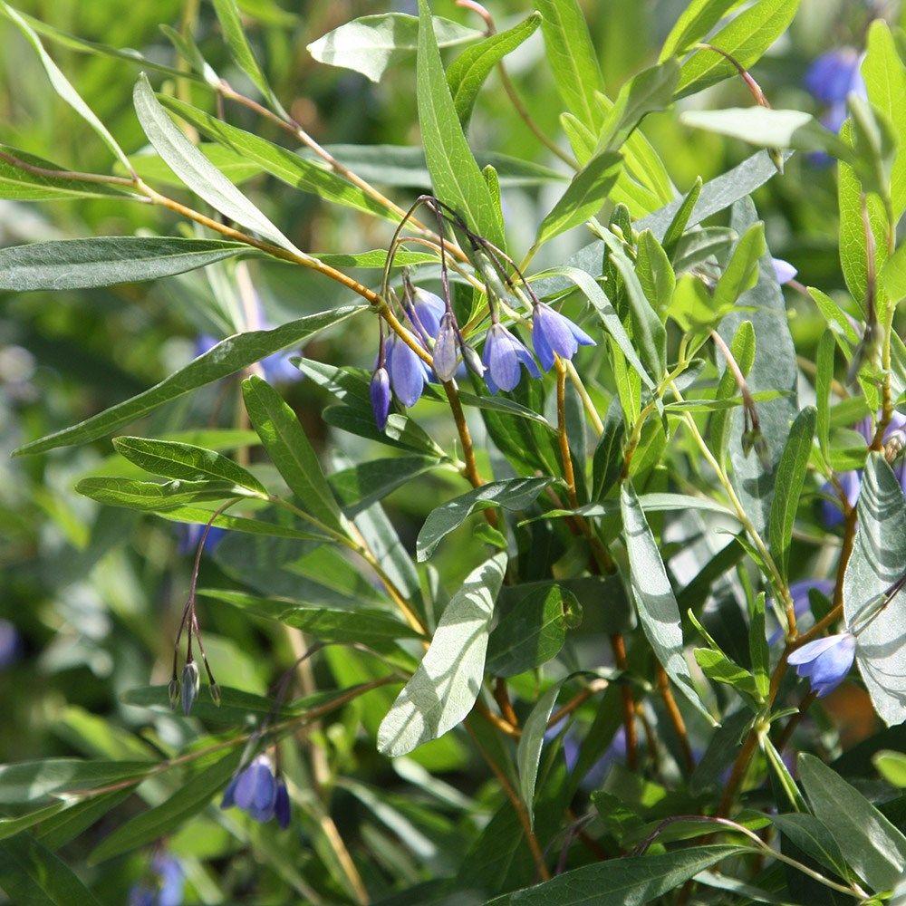 Sollya – Sollya heterophylla
