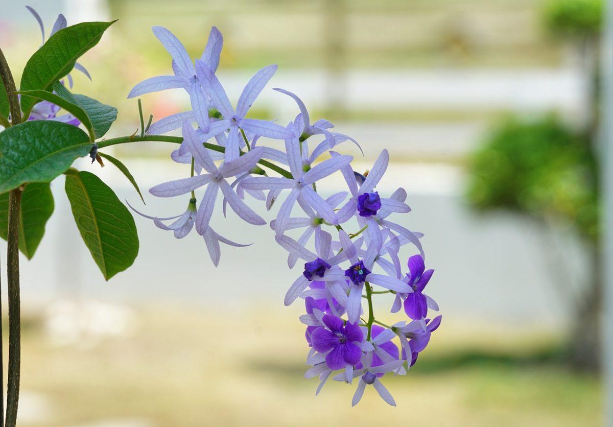 Petrea-fiori