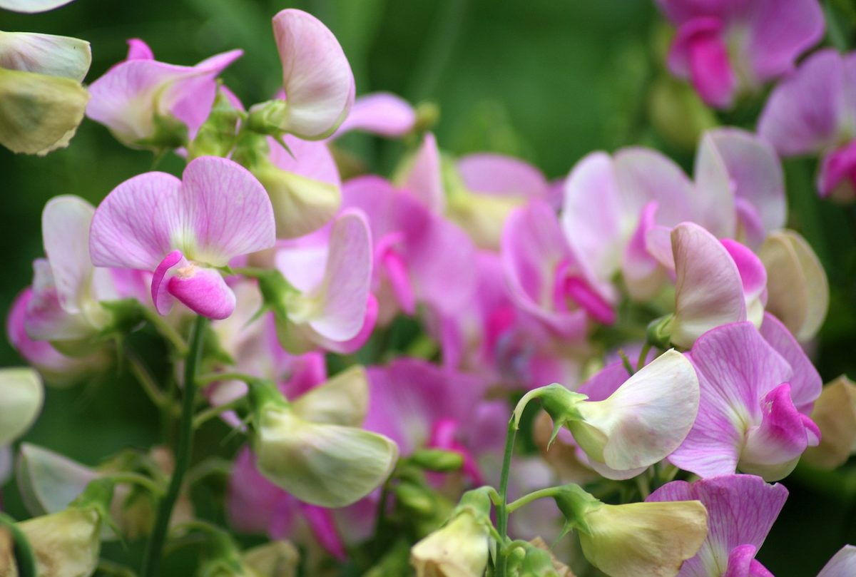 Pisello odoroso-fioritura