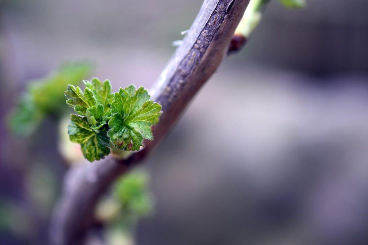 Ribes nero-rami-gemme