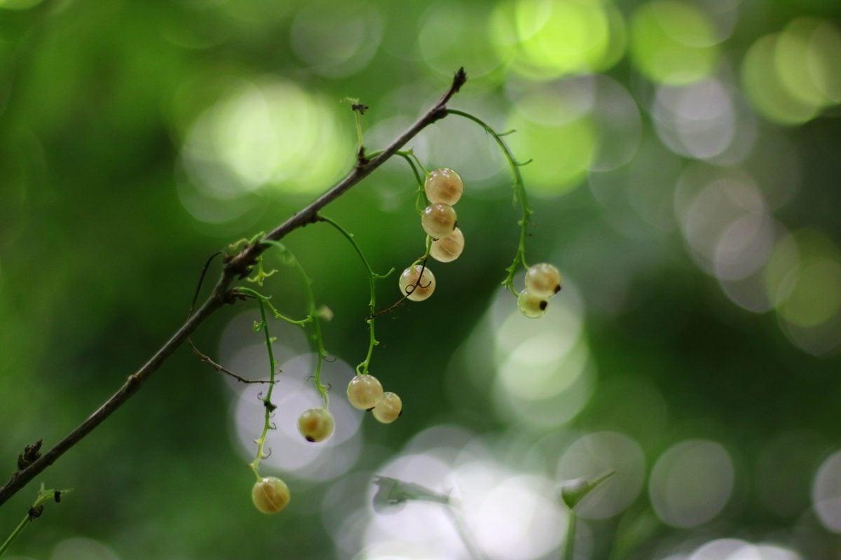 Ribes bianco-potatura