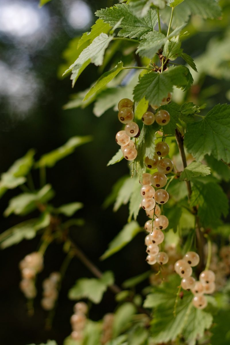Ribes bianco-proprietà