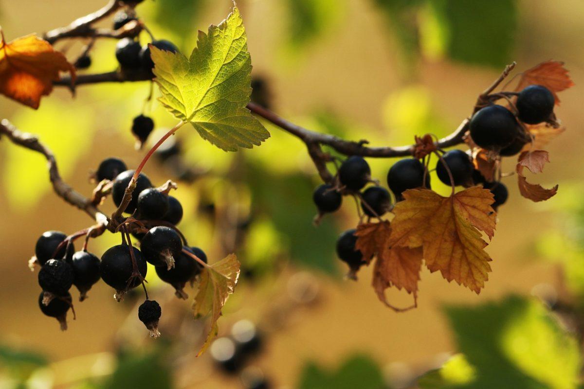 Ribes nero-potatura