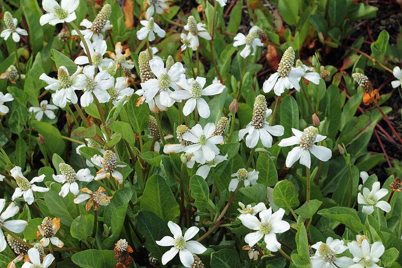 Anemopsis californica-fioritura
