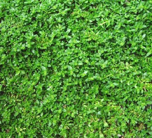 Herniaria glabra – Erniaria