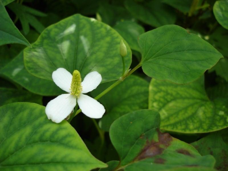 Houttuynia-cordata-fiore