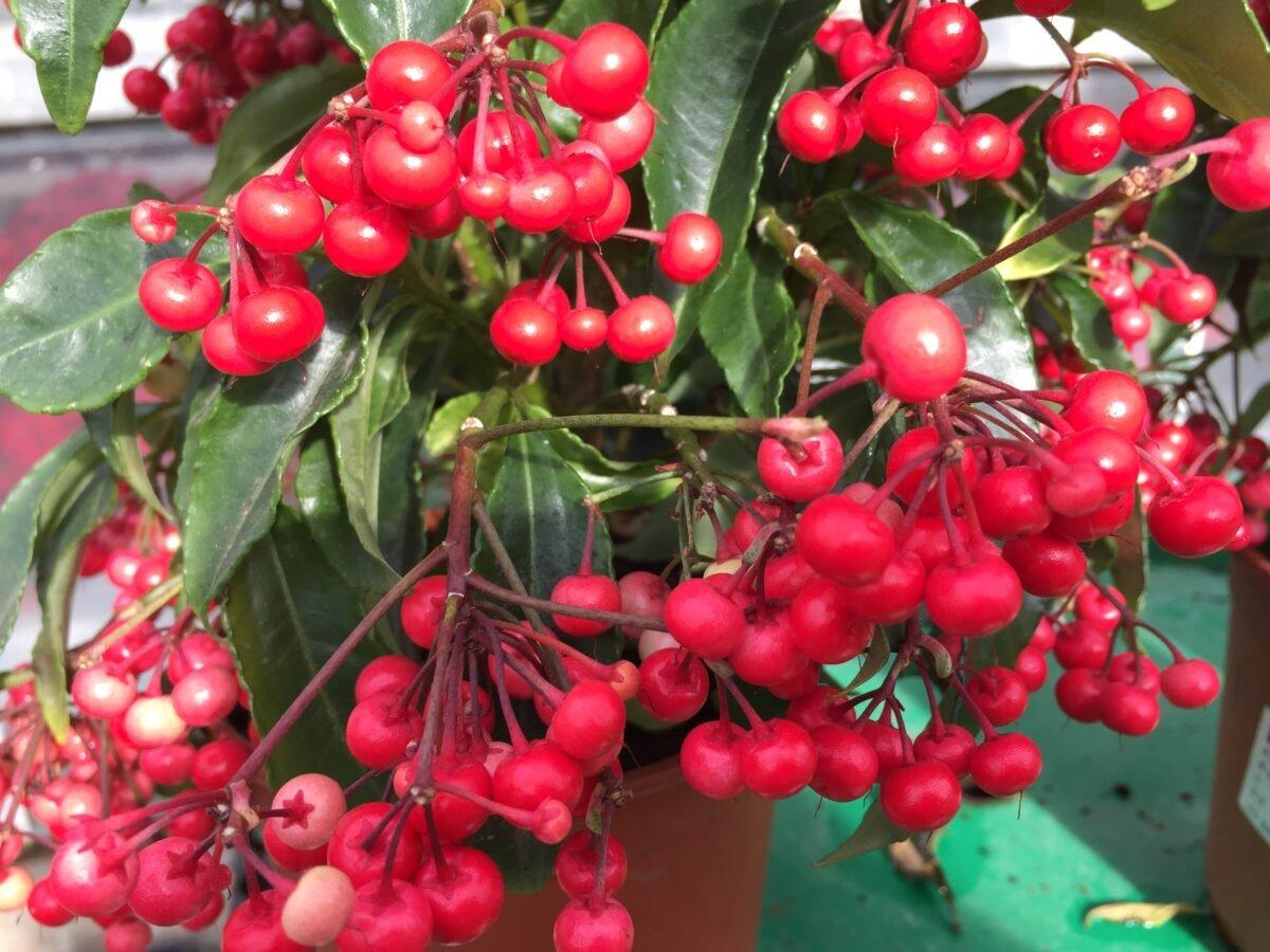 Ardisia-foglie-frutti
