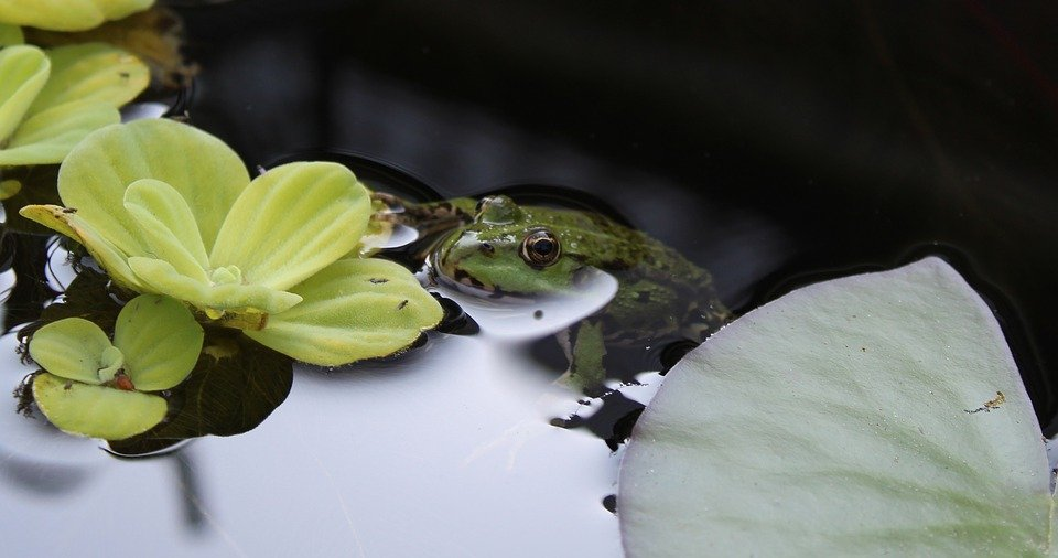 Lattuga acquatica-pianta galleggiante