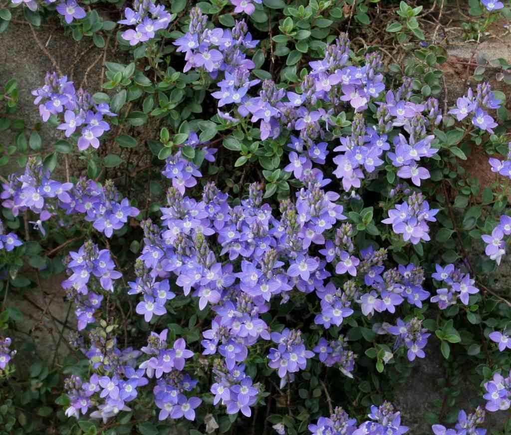 Fiori Tappezzanti Per Aiuole piante tappezzanti