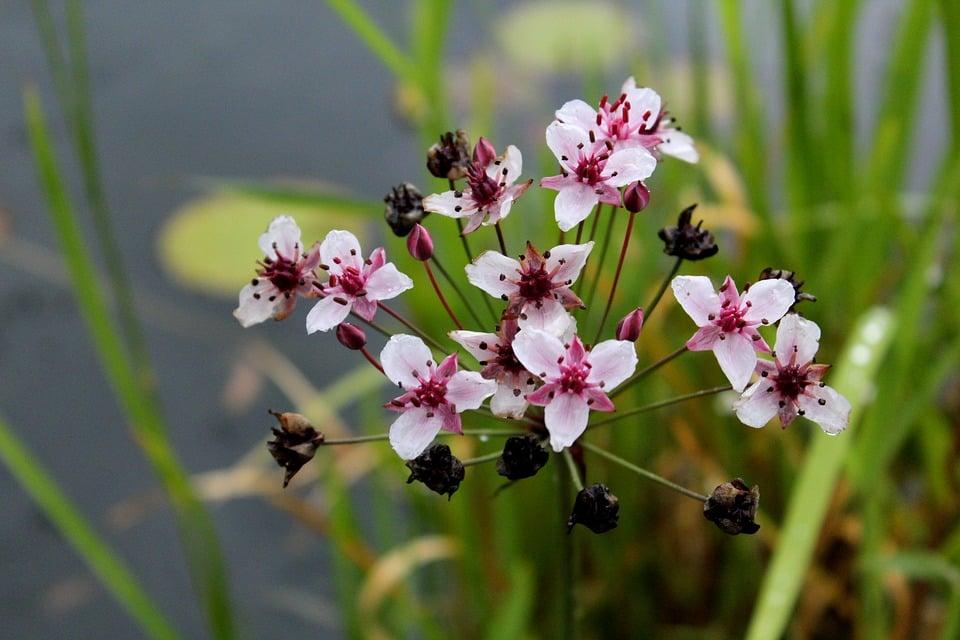 Butomus-umballatus-Giunco fiorito