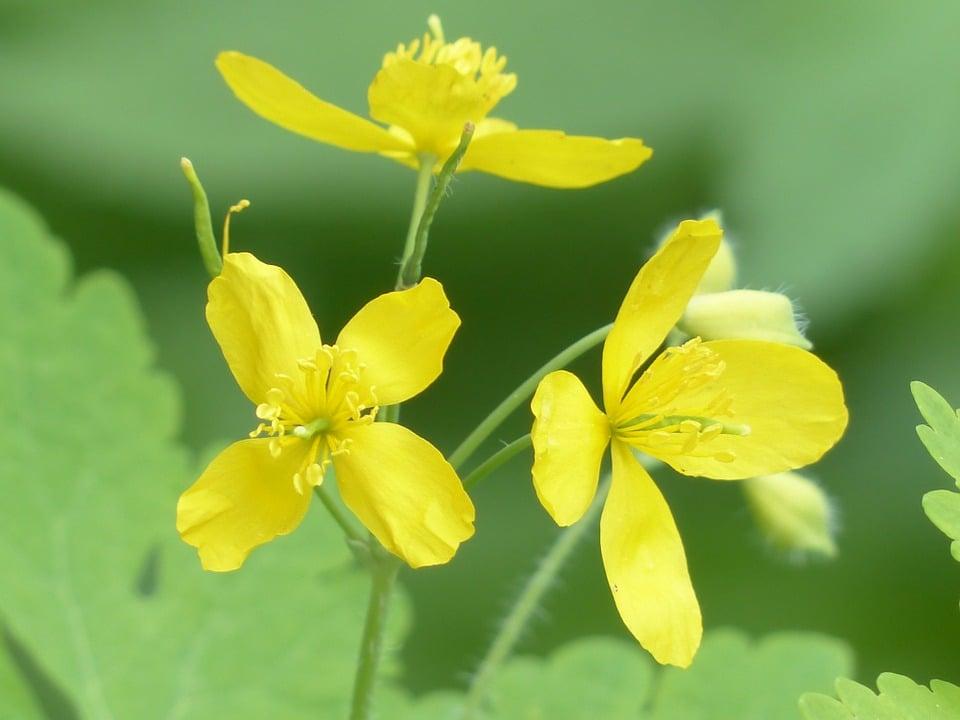 Celidonia-fioritura