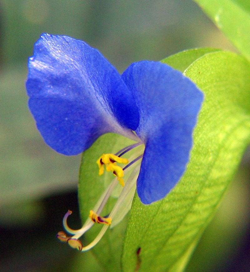 Commelina-fiore