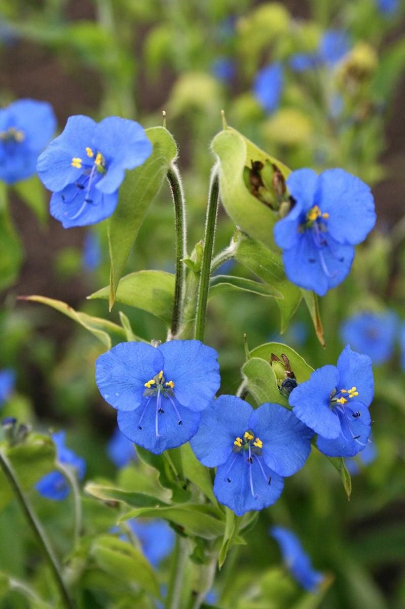 Commelina-tuberosa-fiori