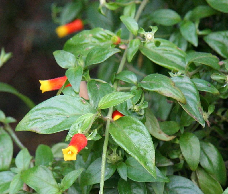 Manettia-luteorubra