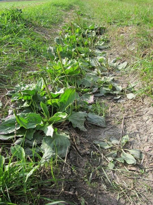 Piantaggine -coltivazione