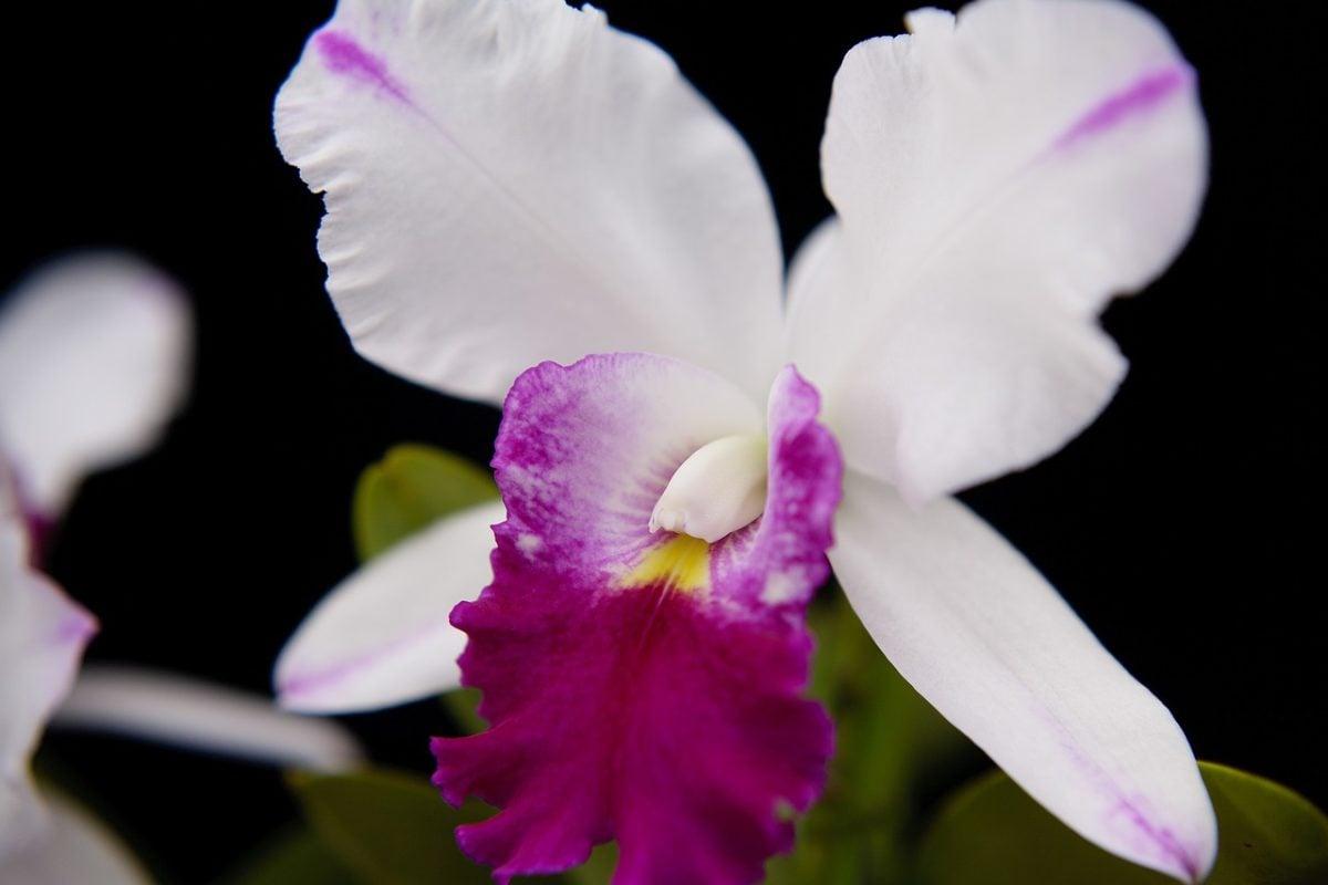 Cattleya-linguaggio-fiori