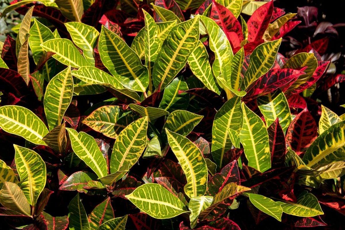 Croton-varietà