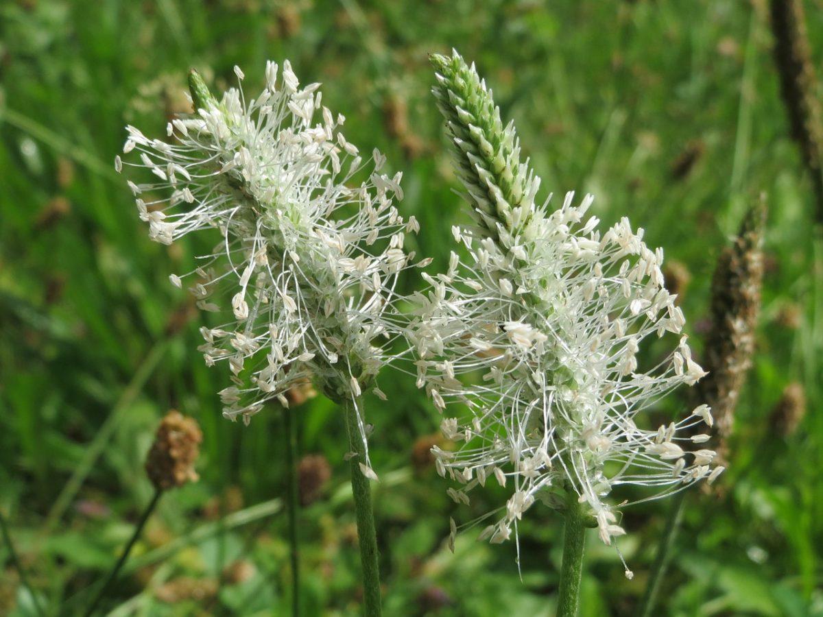 Piantaggine-Plantago-fiori
