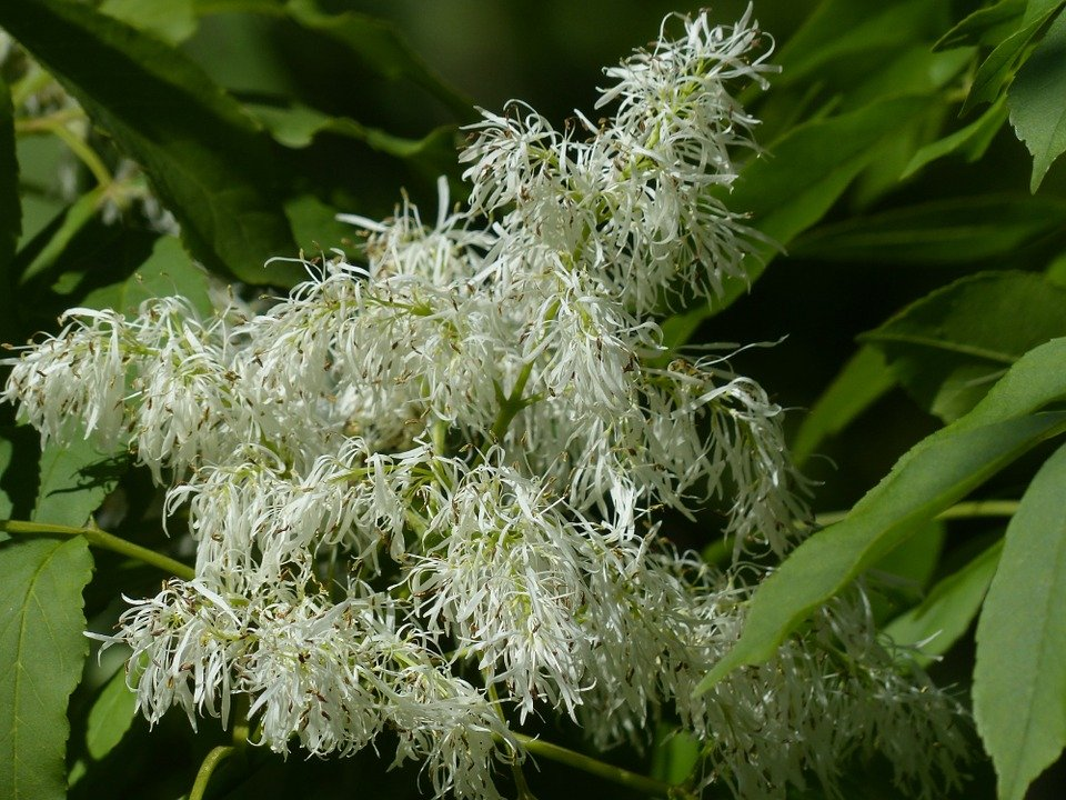 Frassino-manna-fiori