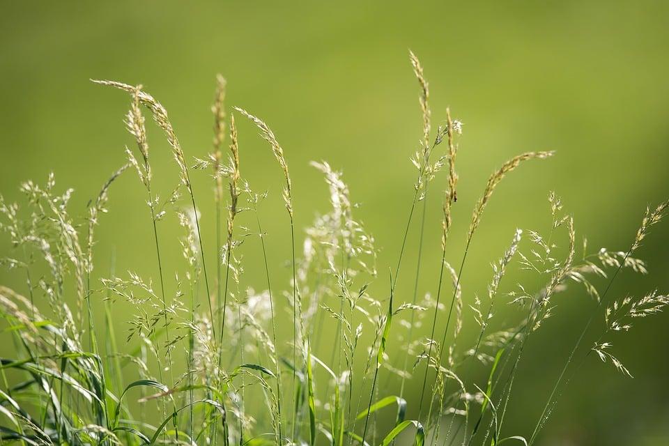Glyceria coltivazione