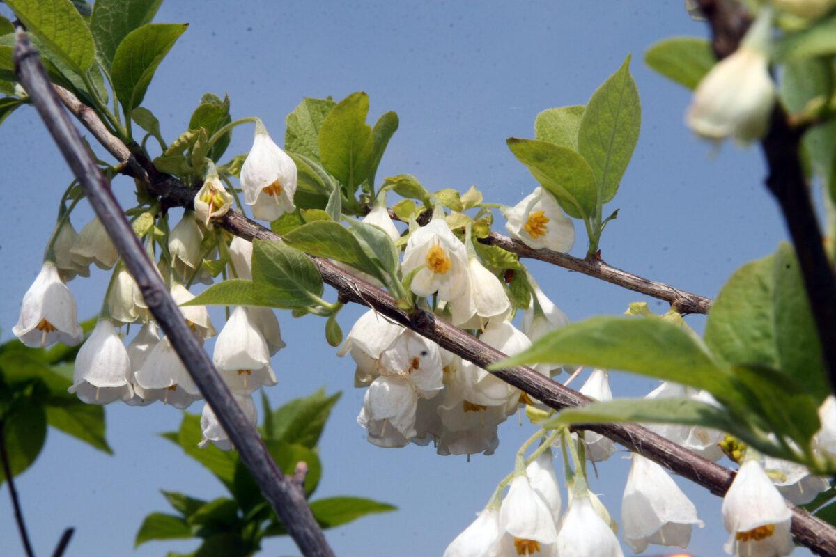 Halesia-carolina-fiori-foglie