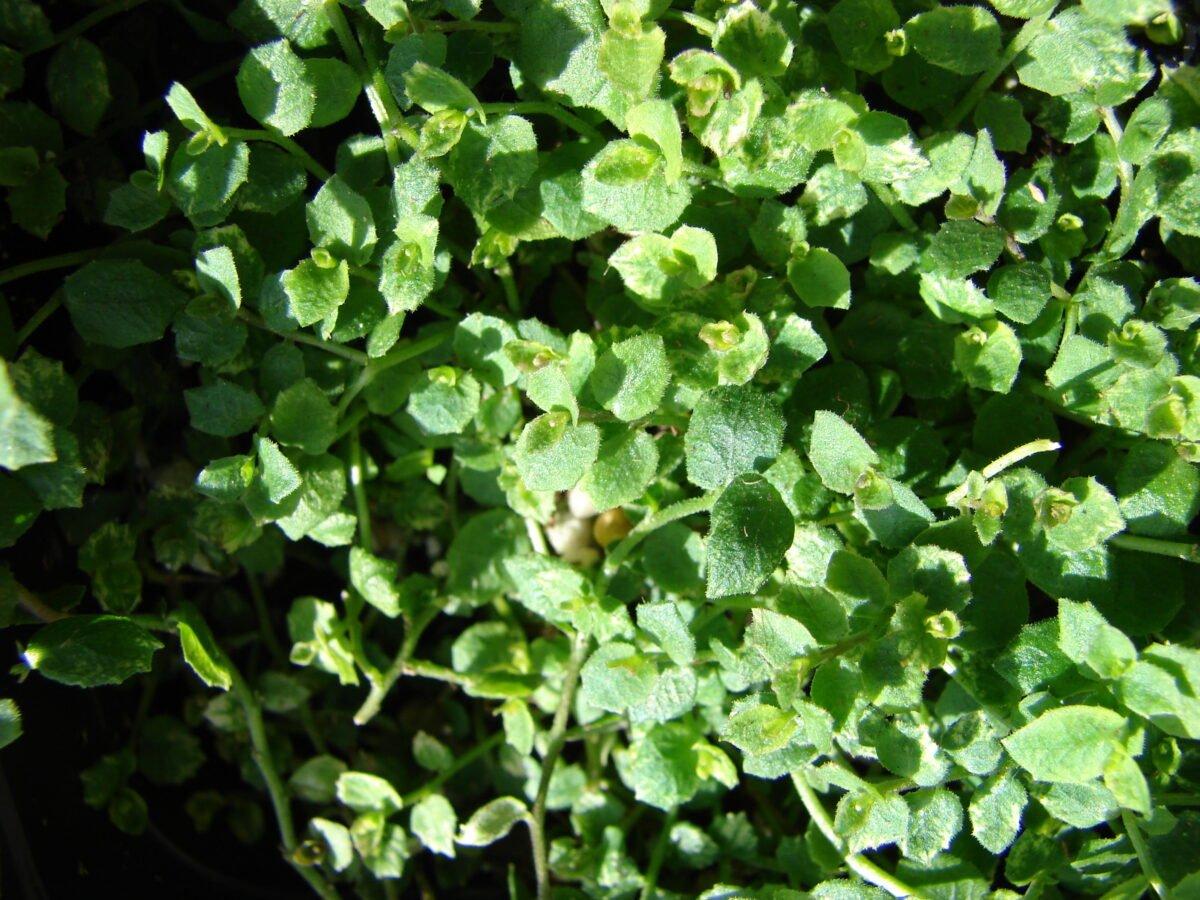 Isotoma-fluviatilis-foglie