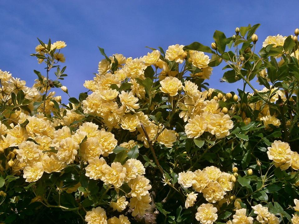 Rosa-banksiae-lutea