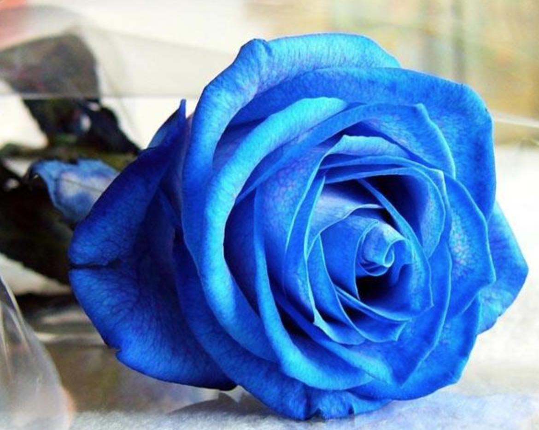 rosa-blu7