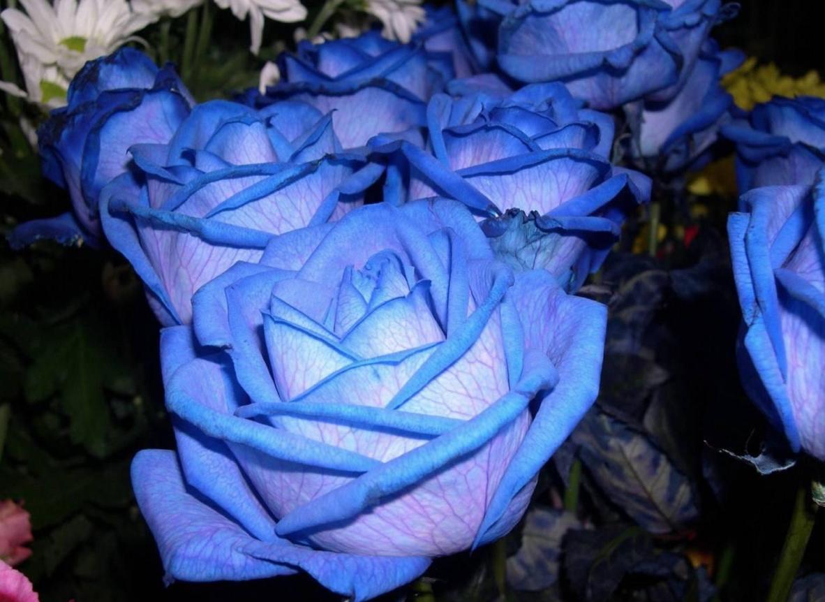 rosa-blu8
