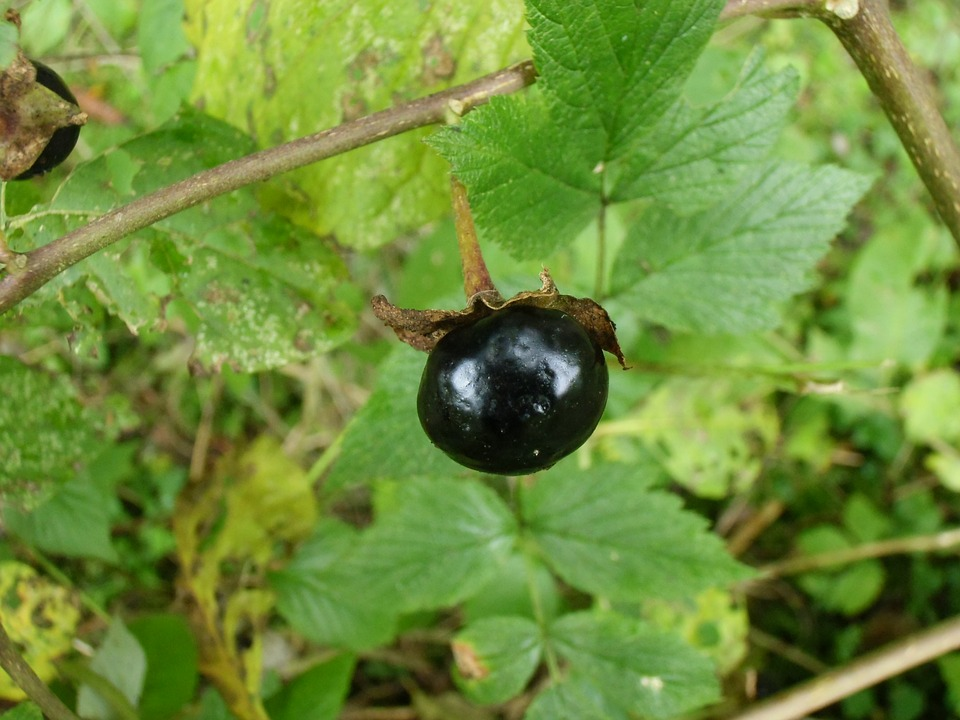 Atropa- belladonna-pianta velenosa