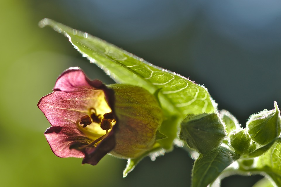 Belladonna-fiore