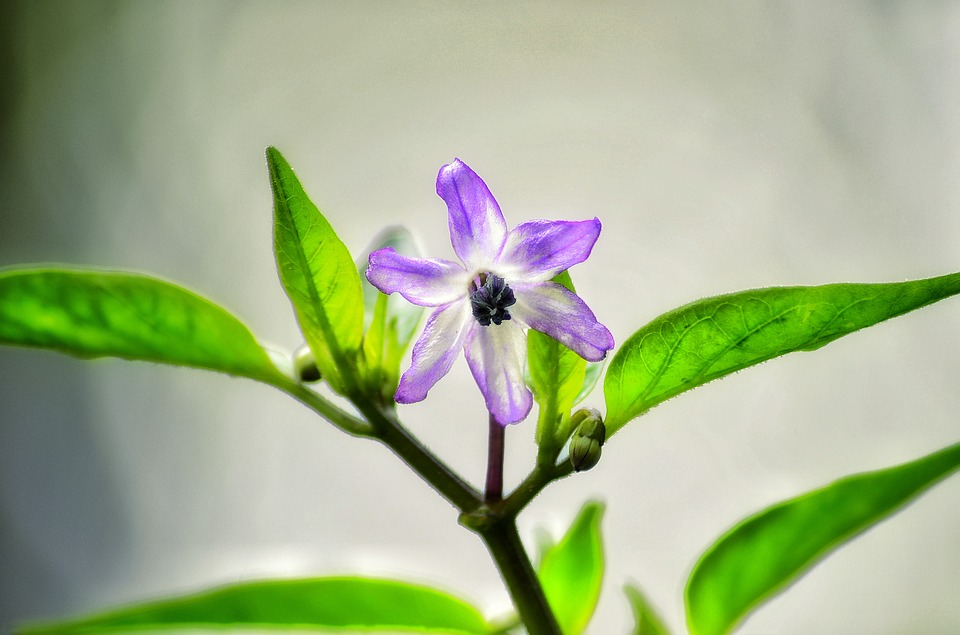 Browallia-speciosa