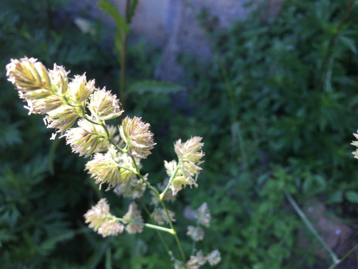 Saggina spagnola- Phalaris arundinacea