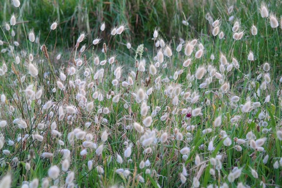 Lagurus ovatus – Coda di lepre