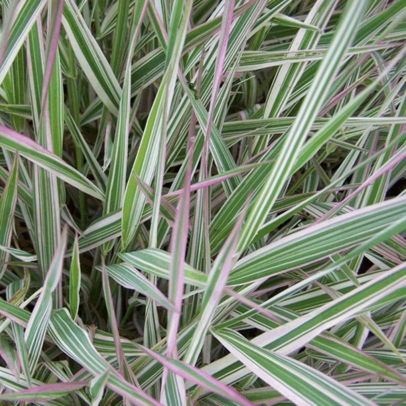 Saggina spagnola – Phalaris arundinacea