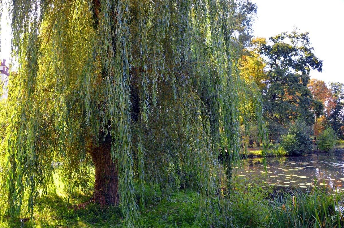 Salice-Salix