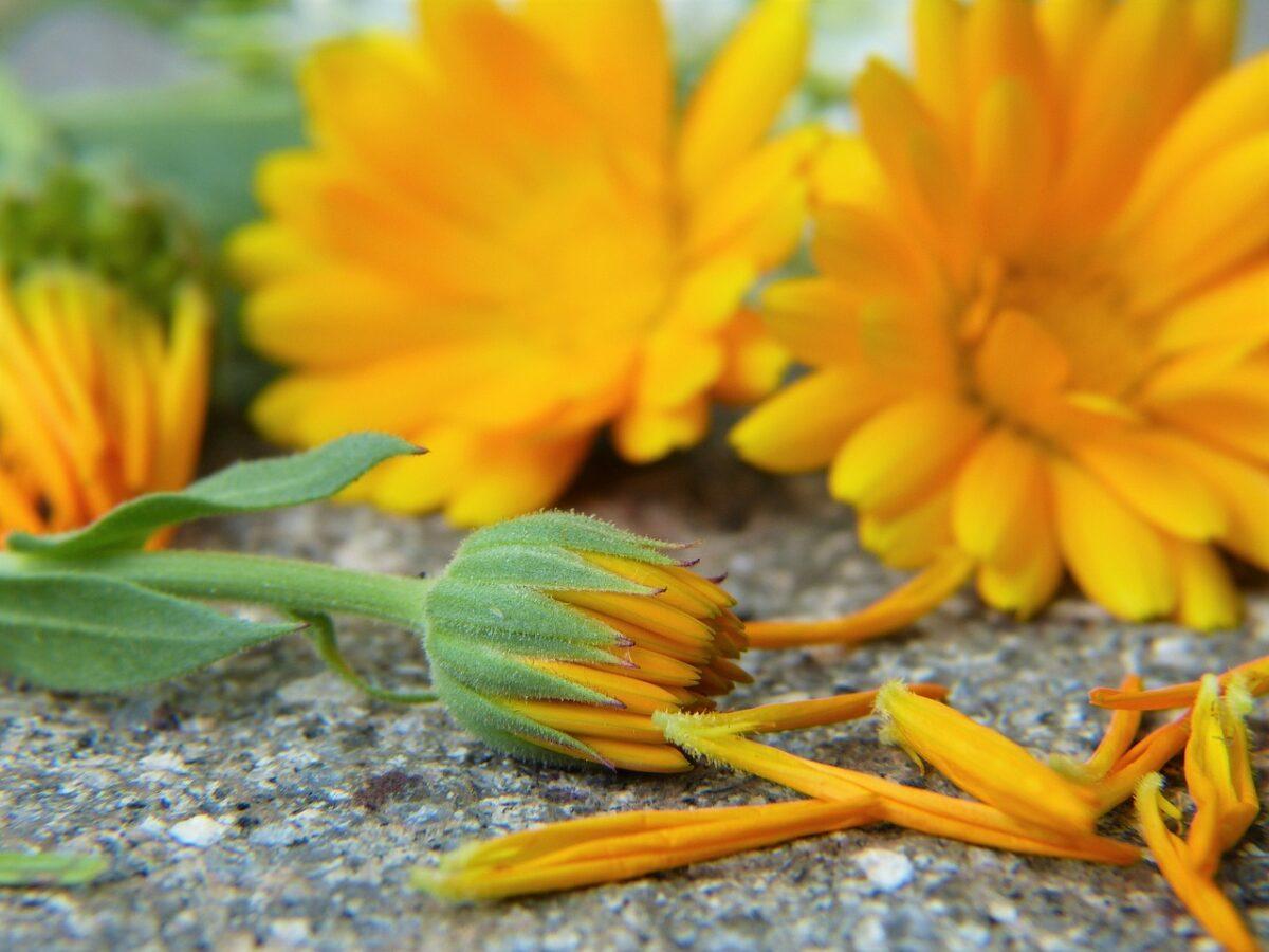 Calendula-raccolta-fiori