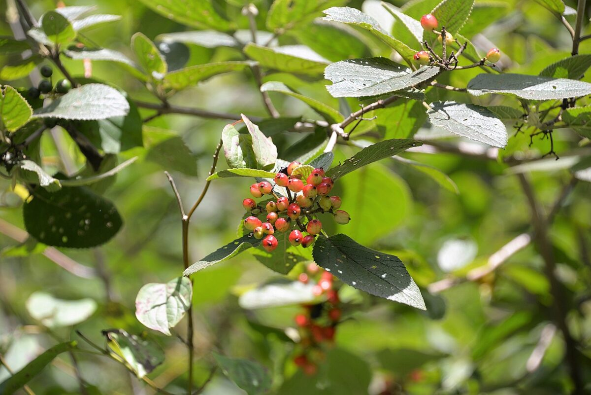 Viburno lantana-frutti