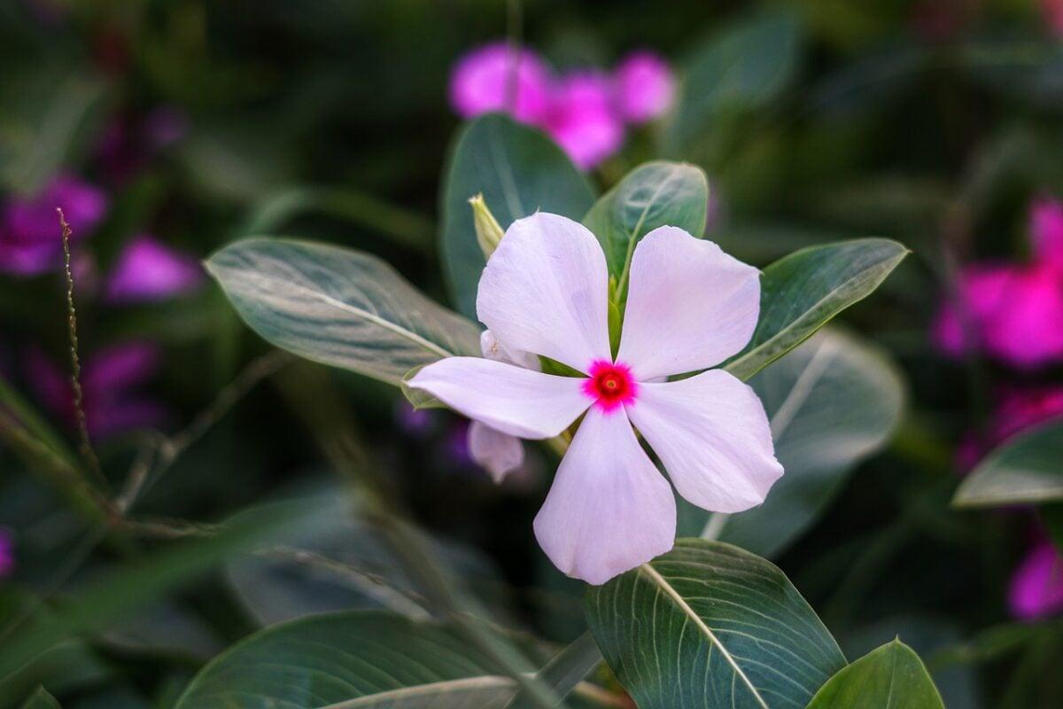 Pervinca-linguaggio fiore