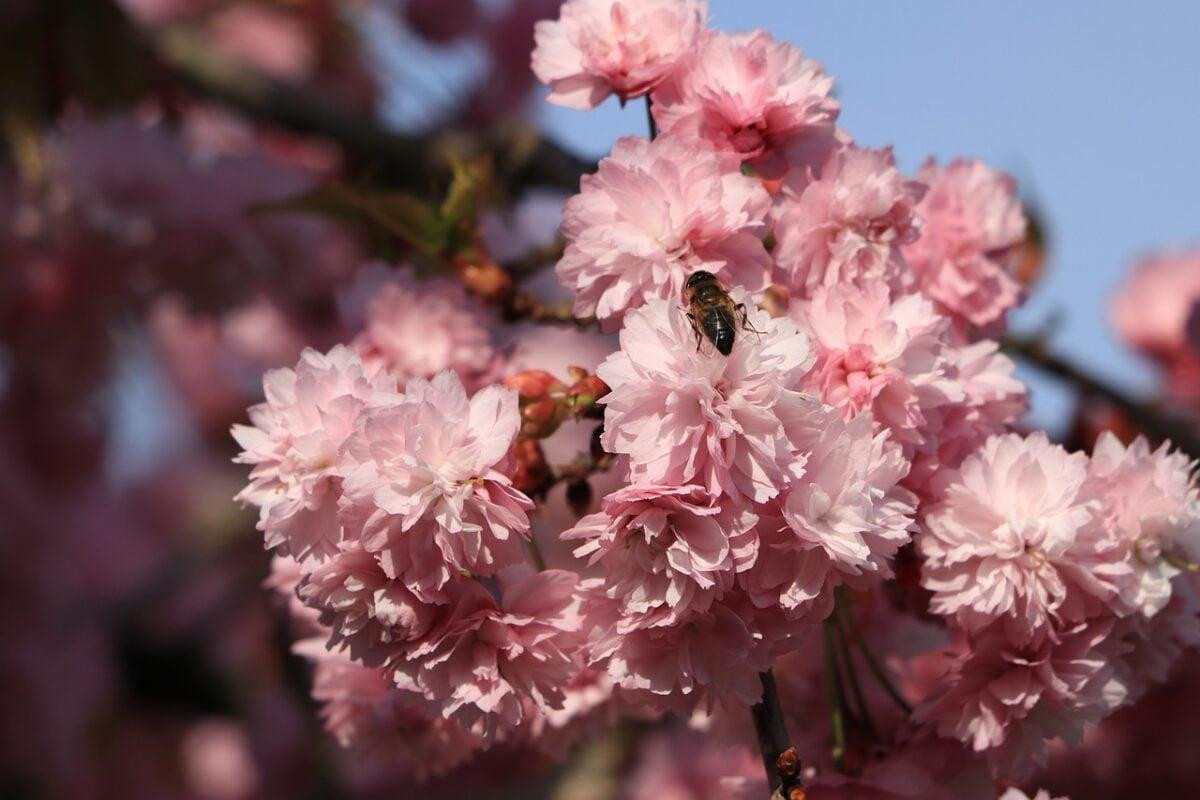 Prunus triloba-fioritura