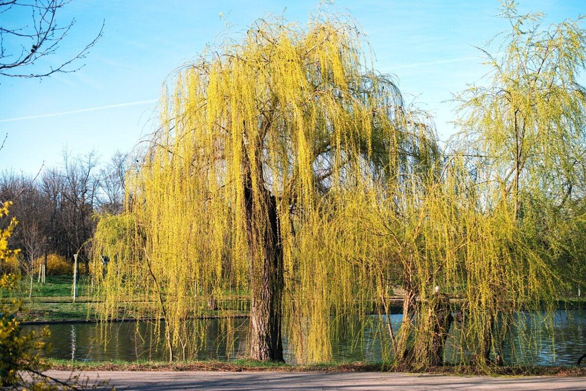 Salice -Salix Chrysocoma
