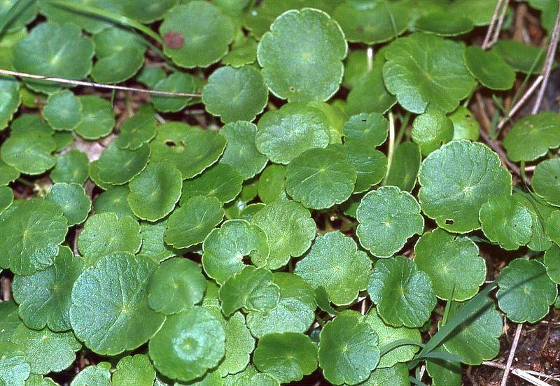 Hydrocotyle vulgaris- Soldinella acquatica