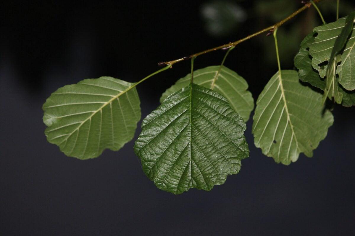 Ontano-foglie