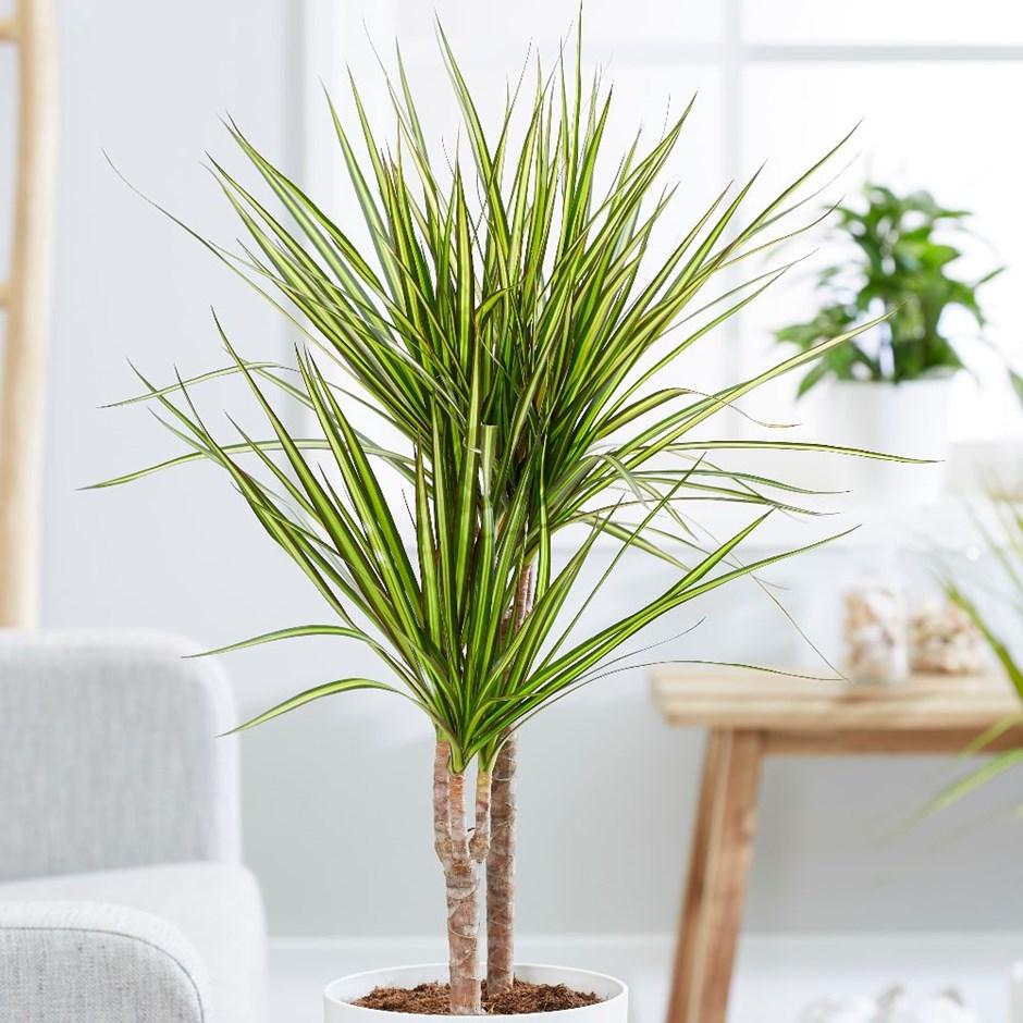 piante-anti-smog-dracena